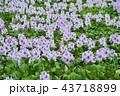 ホテイアオイの花とカルガモ 43718899