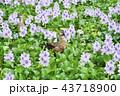 ホテイアオイの花とカルガモ 43718900