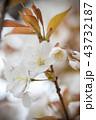 桜 花 植物の写真 43732187