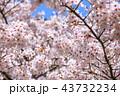 桜 花 植物の写真 43732234