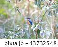 翡翠 カワセミ 野鳥の写真 43732548