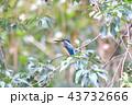 翡翠 カワセミ 野鳥の写真 43732666