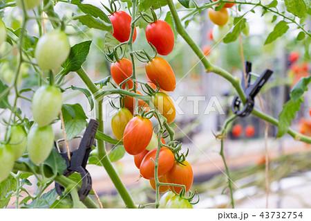 トマト トマト農家 ビニールハウス 43732754