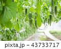ゴーヤ ニガウリ 野菜の写真 43733717