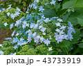 アジサイ 花 ガクアジサイの写真 43733919