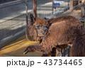 神戸どうぶつ王国のアルパカ 43734465