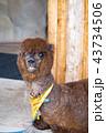 アルパカ 動物 哺乳類の写真 43734506