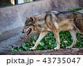 神戸どうぶつ王国のシンリンオオカミ 43735047