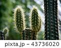 サボテン シャボテン 仙人掌の写真 43736020