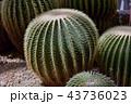 サボテン シャボテン 仙人掌の写真 43736023