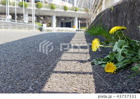コンクリートの隙間から生えたたんぽぽ 強い 生命力 43737331