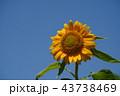 夏 ひまわり 43738469
