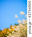 すすき 青空 自然の写真 43744900