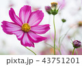 コスモス 花 お花の写真 43751201