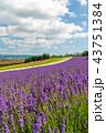 ラベンダー 花畑 ラベンダー畑の写真 43751384