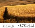麦畑 美瑛 畑の写真 43751418
