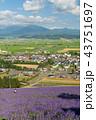 ラベンダー畑 花畑 ラベンダーの写真 43751697