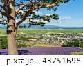 ラベンダー畑 花畑 ラベンダーの写真 43751698