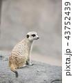 MEERKAT ミーアキャット 43752439