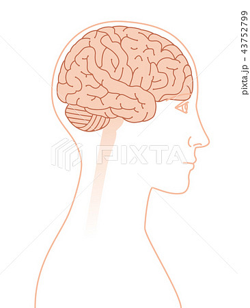 横向きの脳のイメージ 43752799