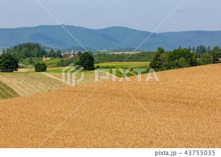美瑛の麦畑 43755035