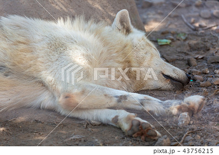 旭山動物園 オオカミ 43756215