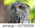 シマフクロウ フクロウ 鳥の写真 43756366