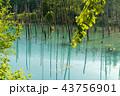 青い池 美瑛 夏 43756901