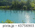 青い池 美瑛 夏 43756903