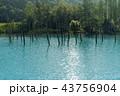 青い池 美瑛 夏 43756904