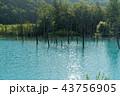 青い池 美瑛 夏 43756905
