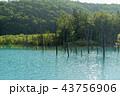 青い池 美瑛 夏 43756906