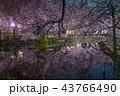 夜桜 井の頭恩賜公園 春の写真 43766490