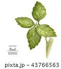 バジル 植物 葉のイラスト 43766563