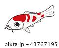 魚 鯉 錦鯉のイラスト 43767195