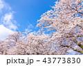 桜並木 43773830