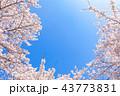 桜の花のフレーム 43773831
