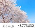 桜並木 43773832