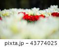 植物 花 チューリップの写真 43774025