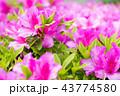 ピンク ツツジ 花の写真 43774580