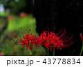 彼岸花 曼珠沙華 花の写真 43778834