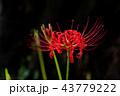 彼岸花 曼珠沙華 花の写真 43779222