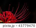 彼岸花 曼珠沙華 花の写真 43779470