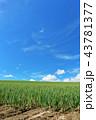 晴れ 北海道 畑の写真 43781377