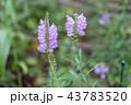 花 シソ科 花虎の尾の写真 43783520