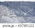 タンチョウ 鶴 樹氷の写真 43785122