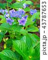 あじさい 紫陽花 植物の写真 43787653