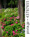 あじさい 紫陽花 三室戸寺の写真 43787655