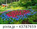 紫陽花 三室戸寺 花の写真 43787659