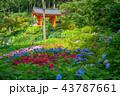 紫陽花 三室戸寺 花の写真 43787661